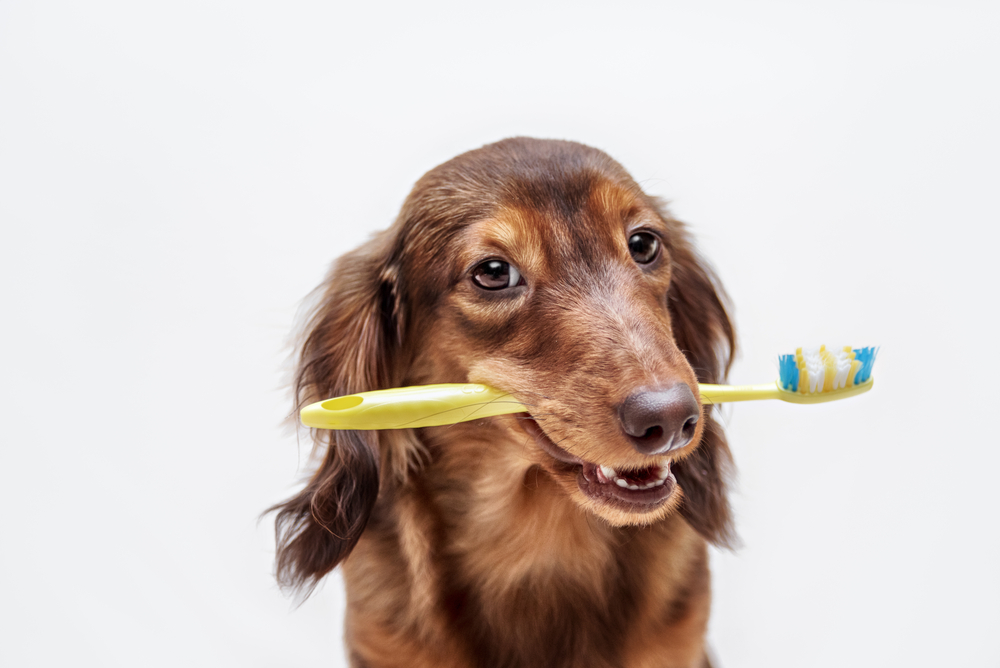 Dog holding a toothbruch